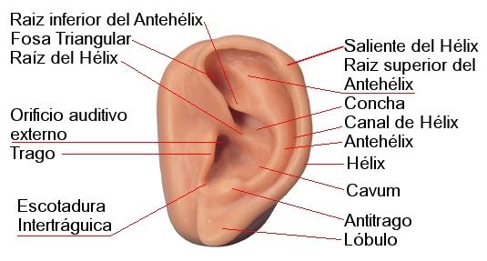 Partes de la oreja