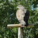 Águila posada con sus garras sobre su poste de descanso