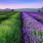 Purple green spring fields