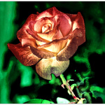 A rose at the winter of her life