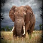 Elephant in a wild field