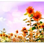 Sunflowers field forever