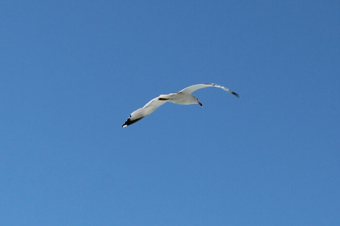 wpid-gaviotas-seagull-autor-manuel-ramallo-001.jpg1