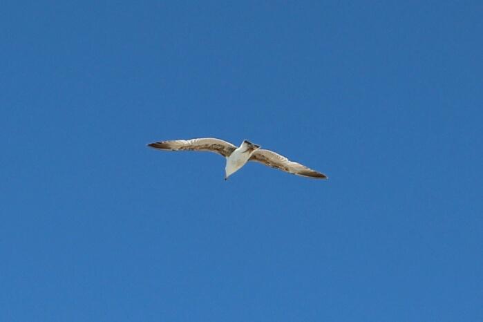 wpid-gaviotas-seagull-autor-manuel-ramallo-003.jpg1