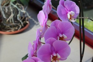 Orquídeas de color púrpura