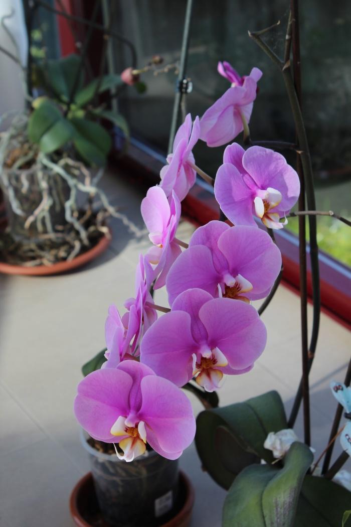 wpid-orquidea-purpura-malva-img_2845-ourense-manuel-ramallo.jpg.jpeg