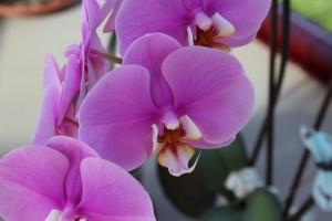 Orquídea malva