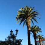 Palmeras en Celanova Ourense