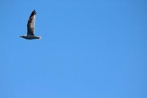 Gaviota vuela alas cielo azul
