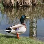 Pato silvestre río Miño