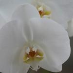 Preciosa orquídea blanca