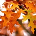 Hojas doradas del otoño