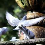 Palomas en la fuente alas extendidas