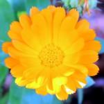 Flor amarilla y naranja