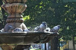 Palomas en fuente del parque de San Lazaro Orense