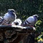 Palomas salpicando agua de la fuente Orense