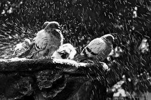 Palomas salpicando agua de la fuente Orense b_n