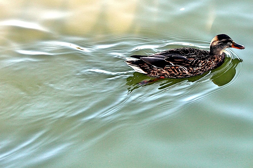 Pato nadando parque Retiro Madrid
