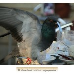 Paloma en mesa de terraza de cafetería – Imagen: Manuel Ramallo