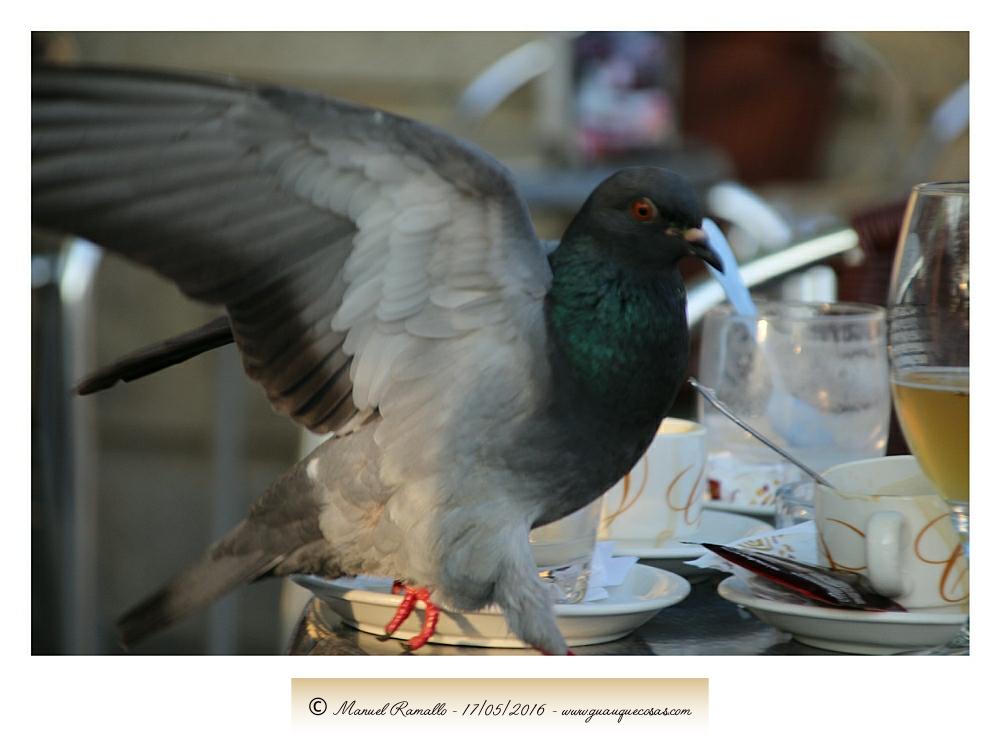 Paloma en mesa de terraza de cafetería - Imagen: Manuel Ramallo
