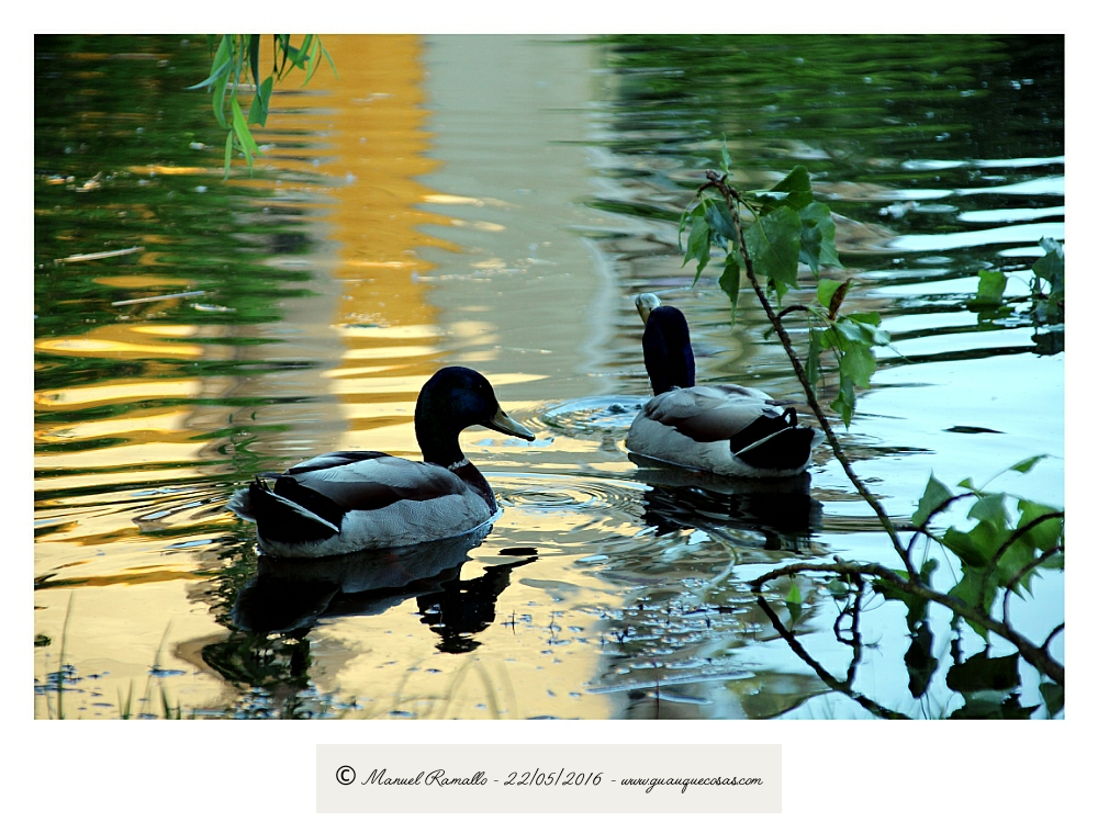 Patos en charca en el río Miño junto al puente romano de Orense - Imagen: Manuel Ramallo