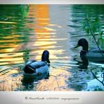 Patos silvestres nadando a contraluz en charca junto al río Miño Orense – Imagen: Manuel Ramallo