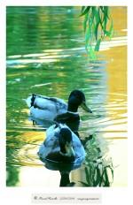 Río Miño patos silvestres en charca Orense - Imagen: Manuel Ramallo
