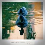 Reflejo agua patos silvestres en agua charca Río Miño Orense – Imagen: Manuel Ramallo