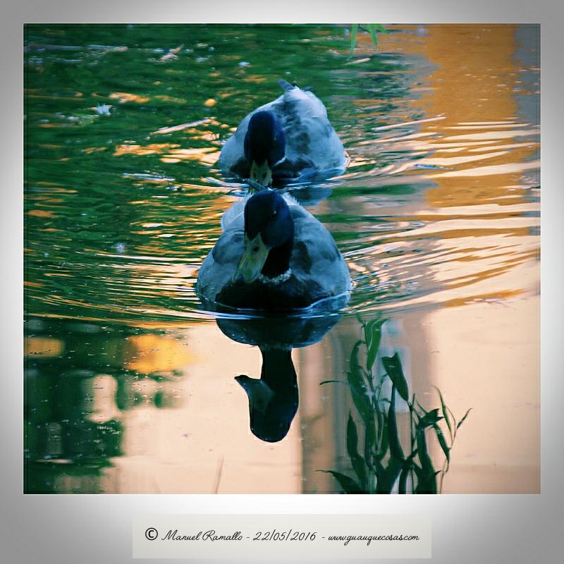 Reflejo agua patos silvestres en agua charca Río Miño Orense - Imagen: Manuel Ramallo