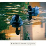 Reflejos en la charca de patos silvestres del Río Miño Orense – Imagen: Manuel Ramallo