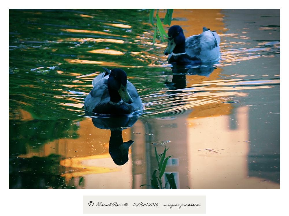 Reflejos en la charca de patos silvestred del Río Miño Orense - Imagen: Manuel Ramallo