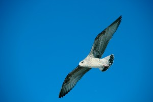 Ave marina gaviota volando sobre el cielo azul en playa América autor Manuel Ramallo
