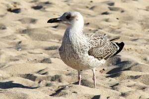 Gaviota en la arena de playa América autor Manuel Ramallo