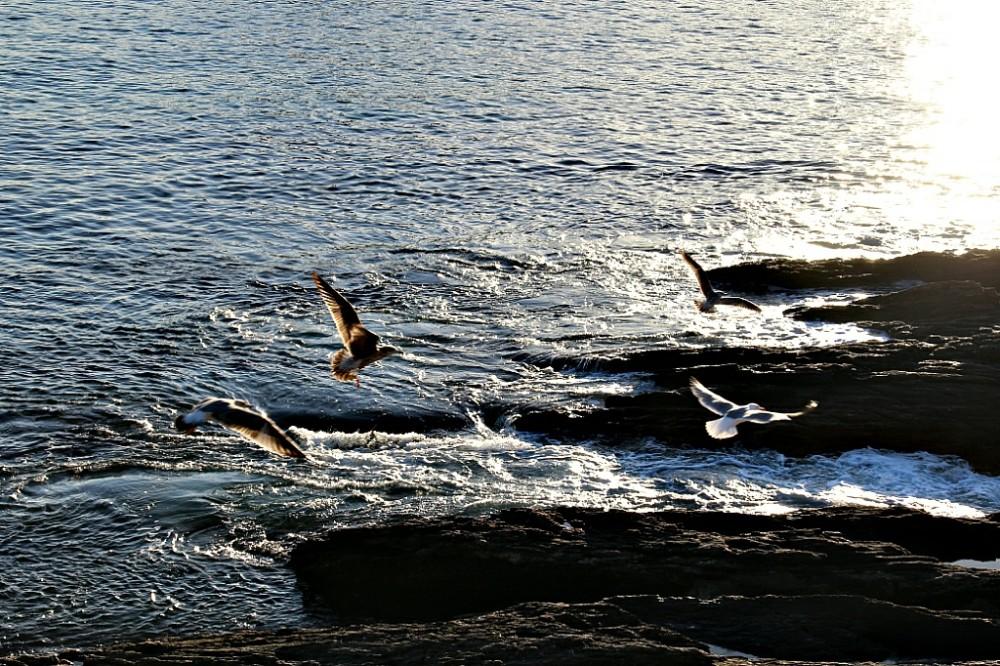 Aves marinas en la costa de Portonovo Sanxenxo Pontevedra