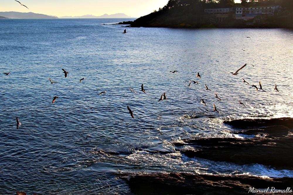 Aves marinas costa Portonovo Sanxenxo Pontevedra Galicia