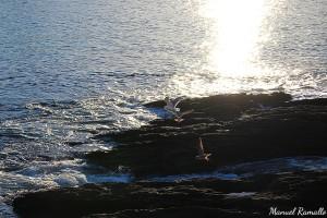 Gaviotas aves marinas costa rocas agua mar Portonovo Sanxenxo Pontevedra