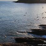 Gaviotas y otras aves marinas en las rocas de Portonovo Sanxenxo Pontevedra