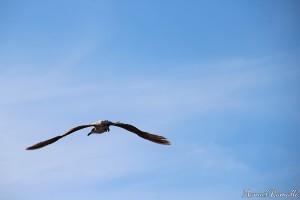 gaviota-en-pleno-vuelo