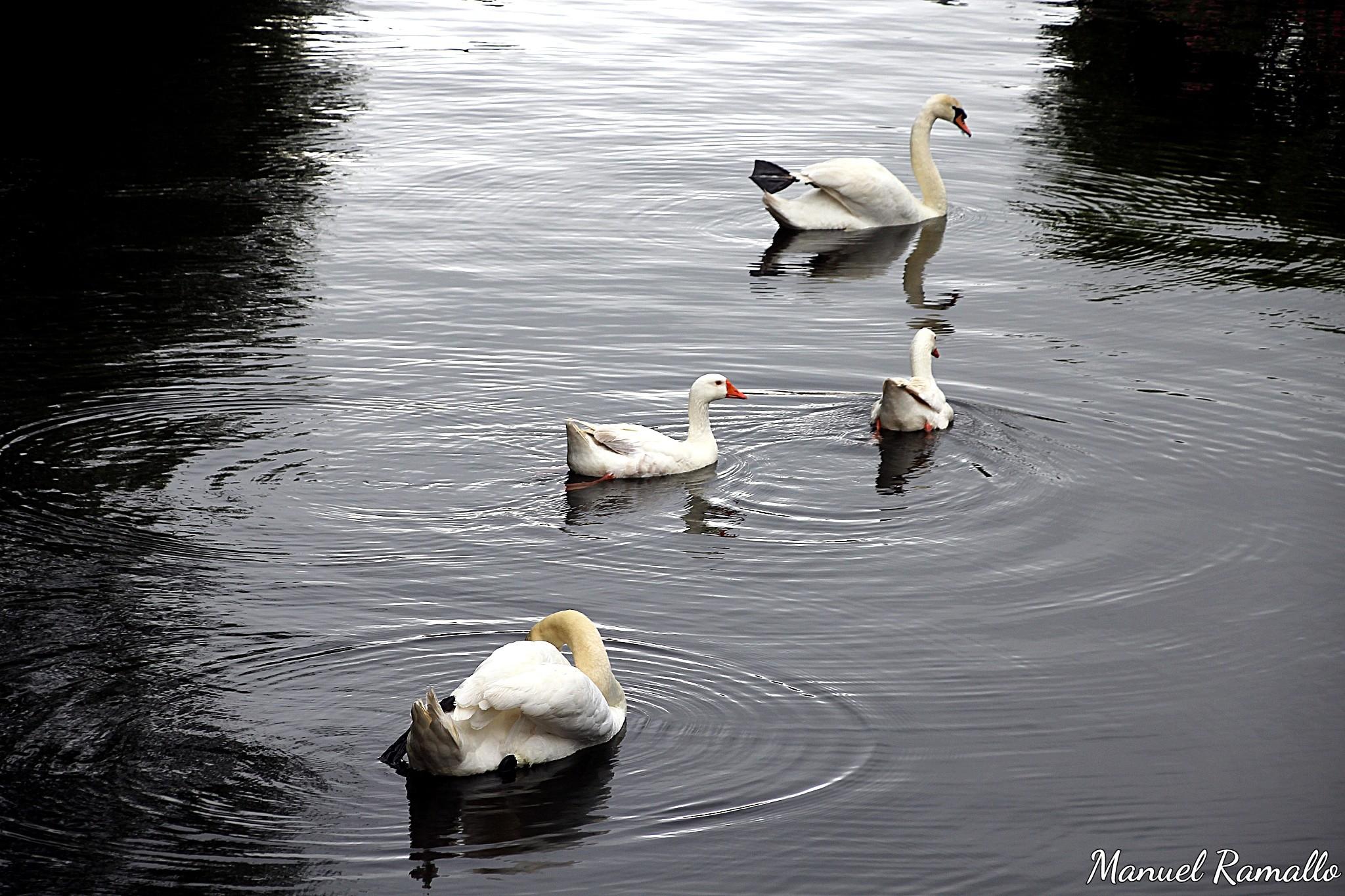 pazo-de-oca-estanque-cisnes-y-ocas-blancas