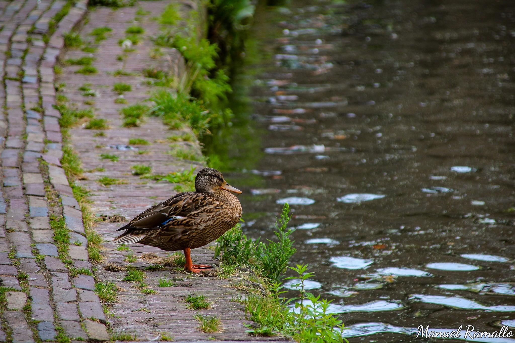 pato-canal-utrecht-holanda-paises-bajos