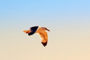 gaviota-volando