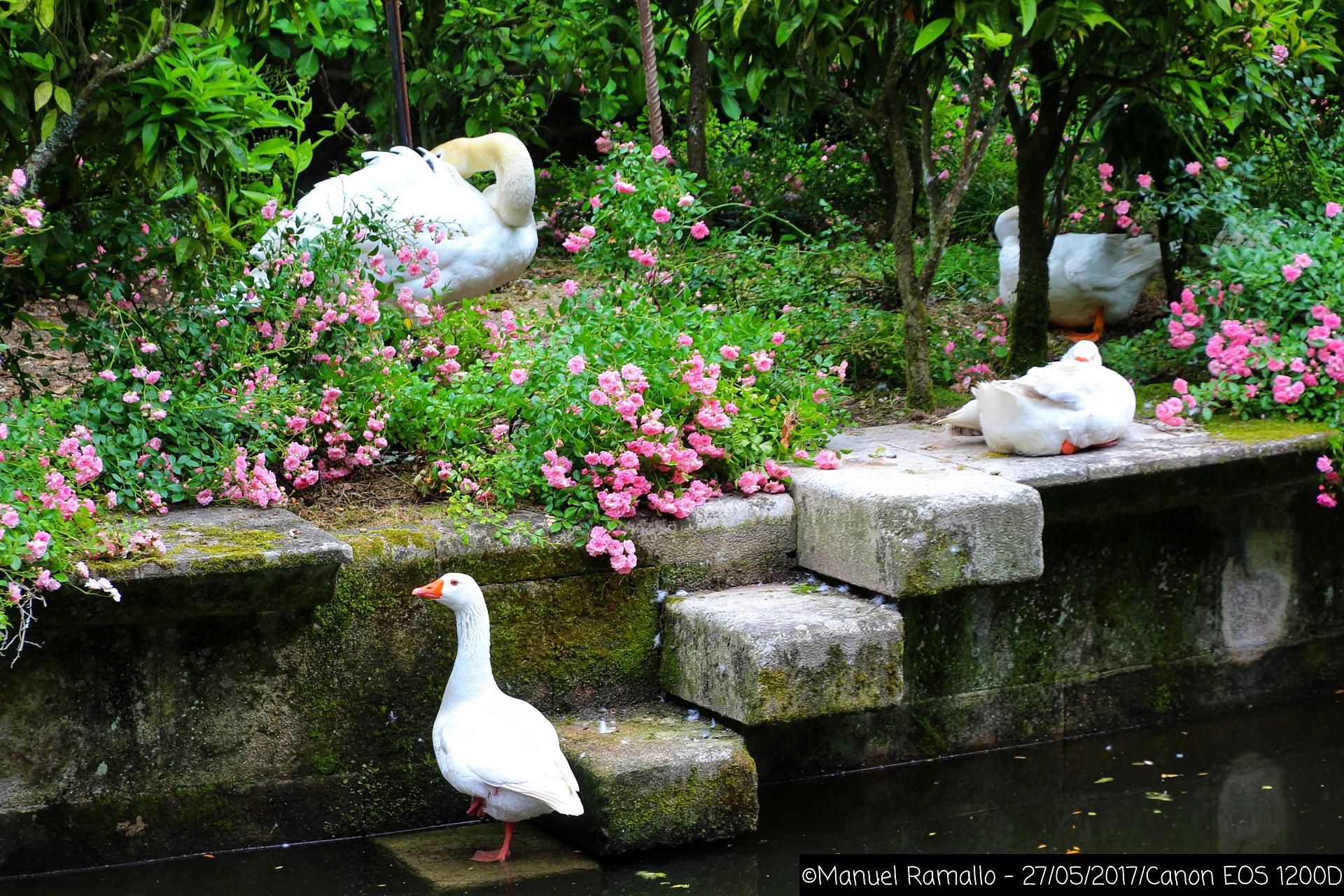 cisnes-ganso-pazo-de-oca-pontevedra