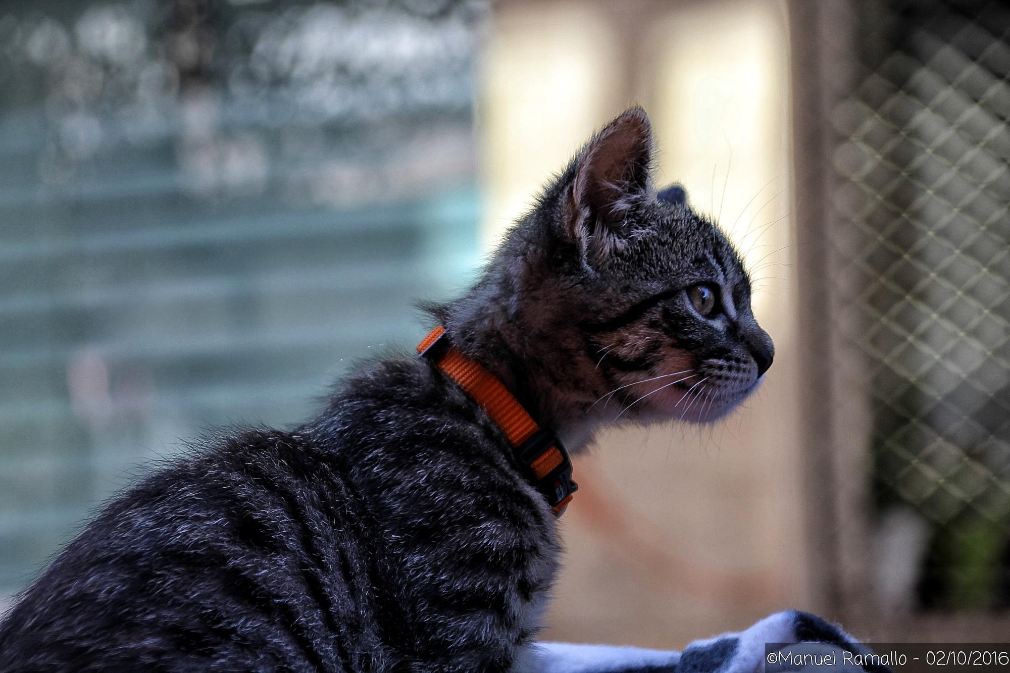 gatito-atigrado-mirando-atento