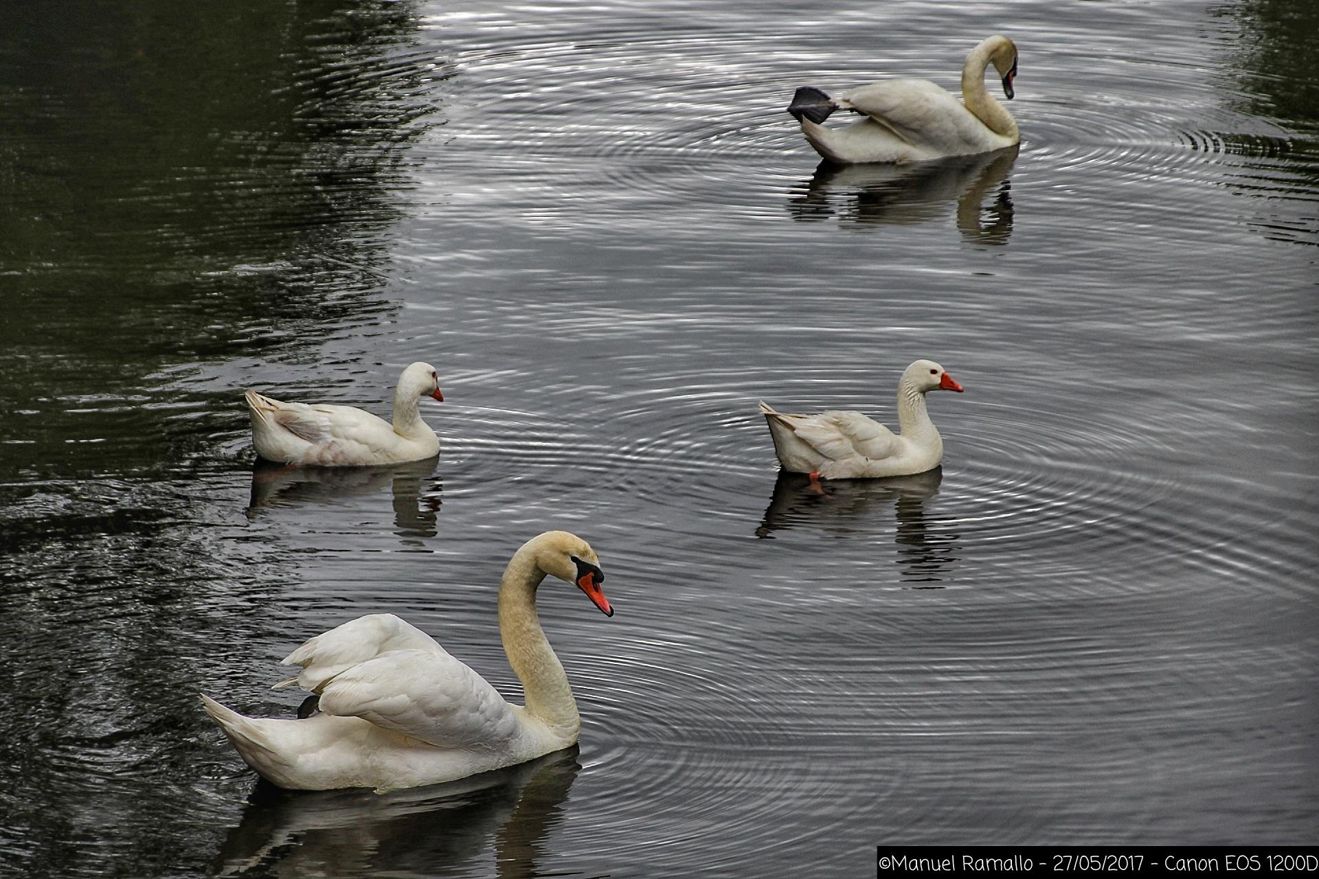 patos-gansos-cisnes-pazo-de-oca-pontevedra