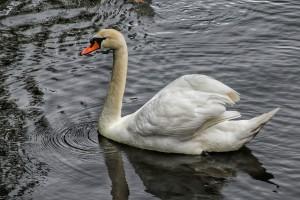 cisne-blanco-pazo-de-oca-pontevedra