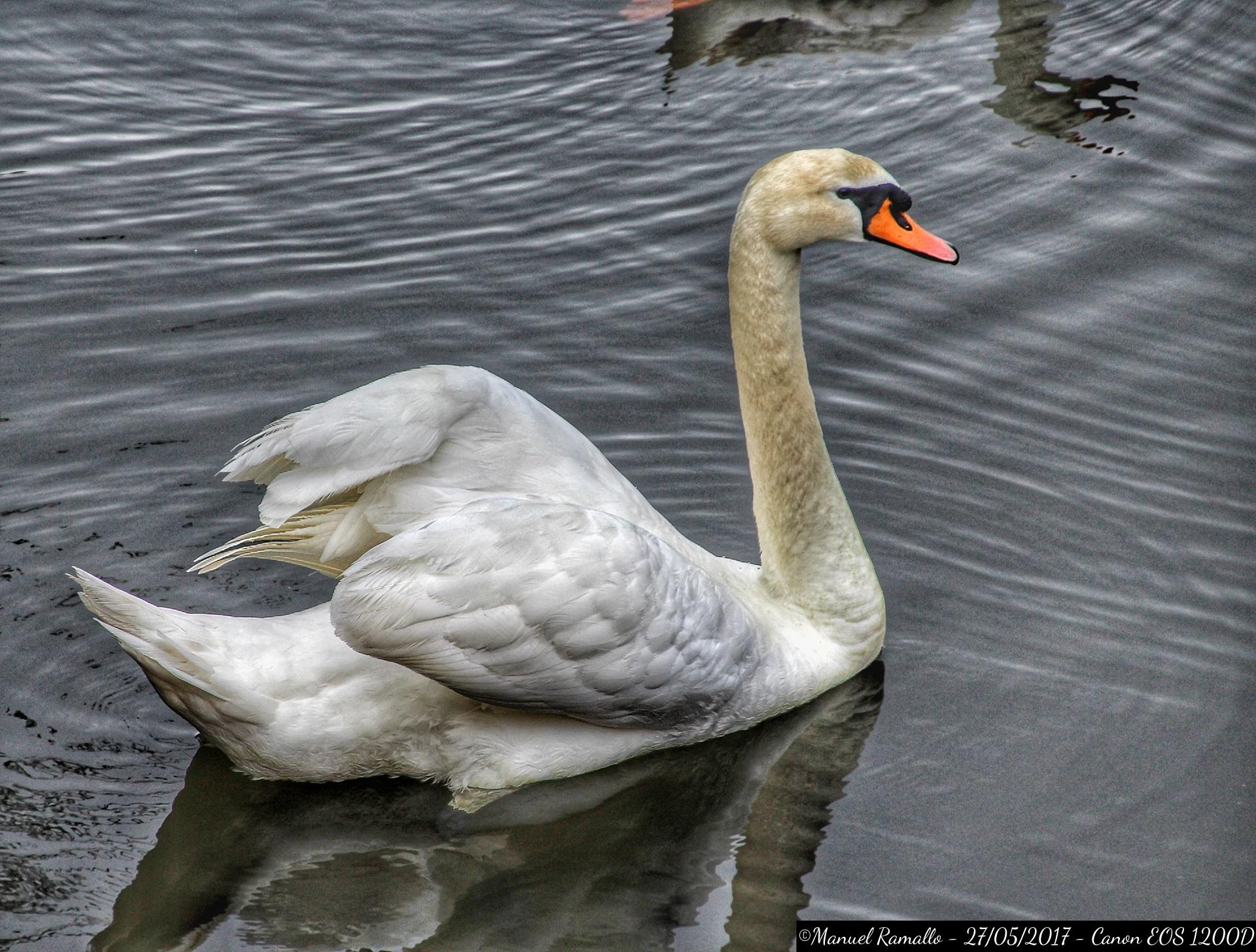 cisne-pazo-de-oca-pontevedra