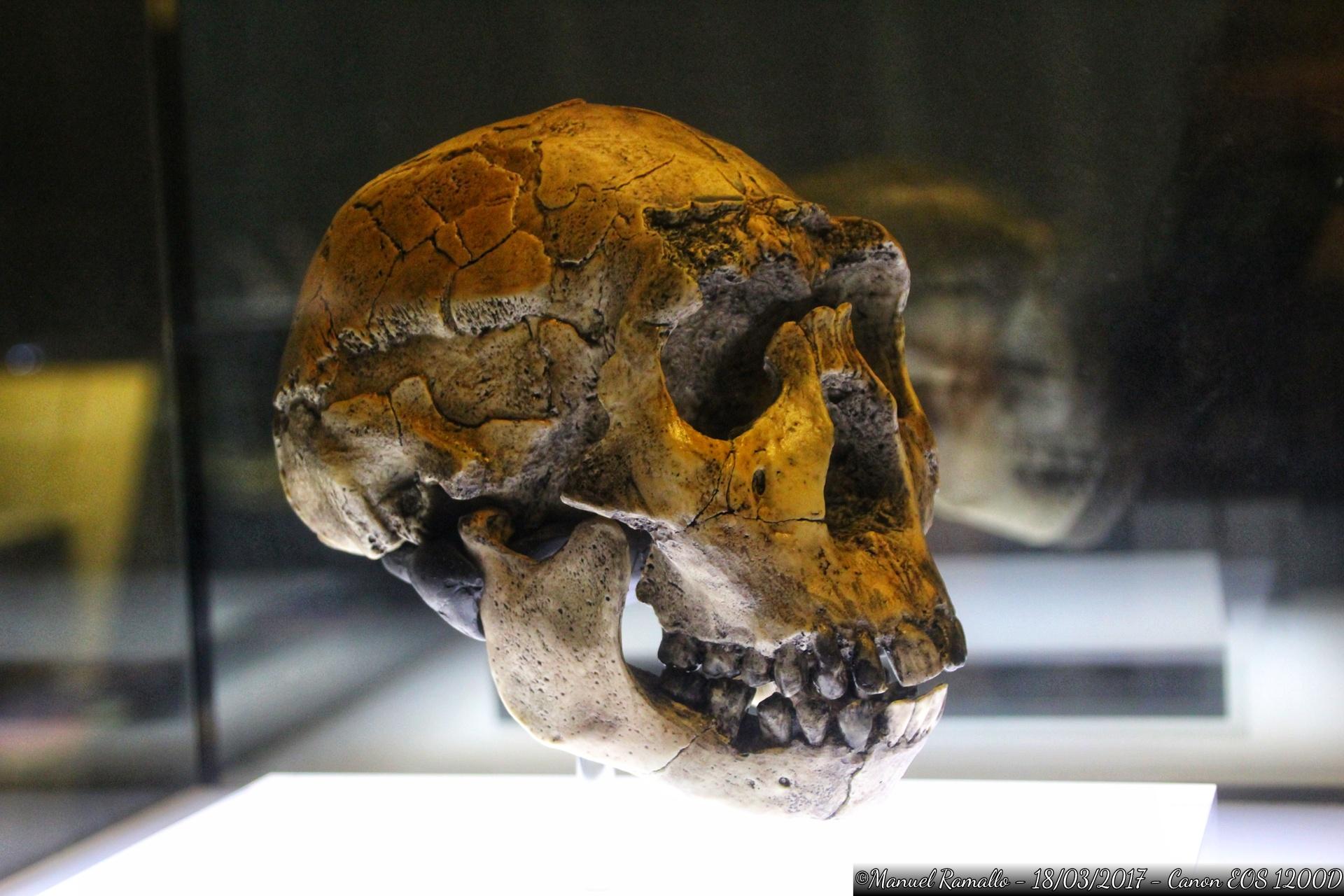 craneo-homo-ergaster-16-millones-anos-nino-lago-turkana-kenia