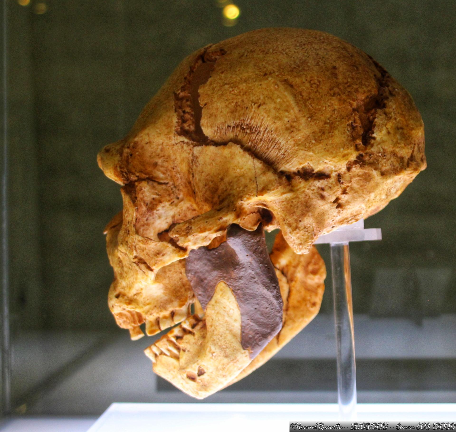 craneo-homo-heidelbergensis-miguelon-atapuerca-400000-anos-antiguedad