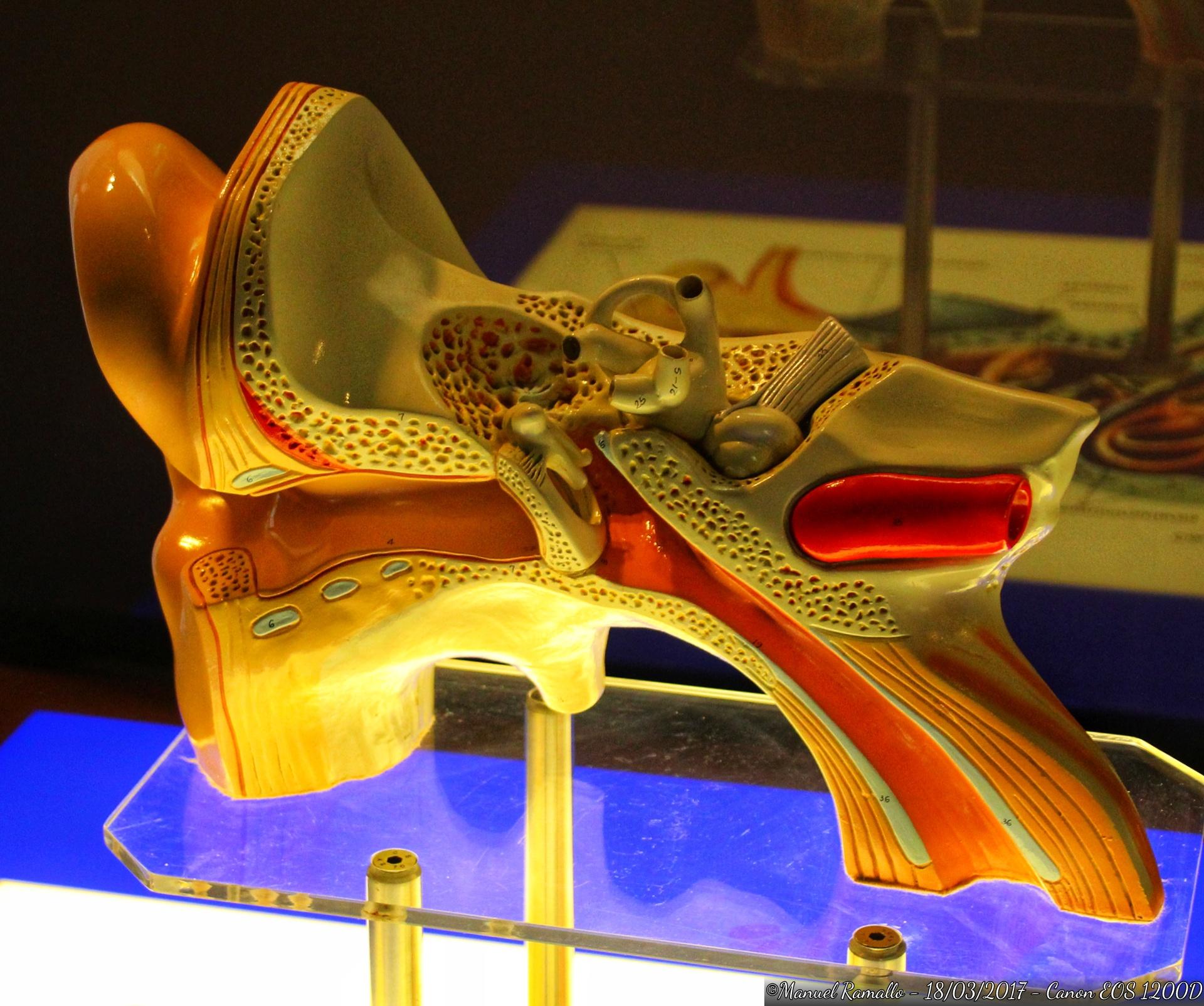 maqueta-estructura-oido-humano-domus-museo-coruna