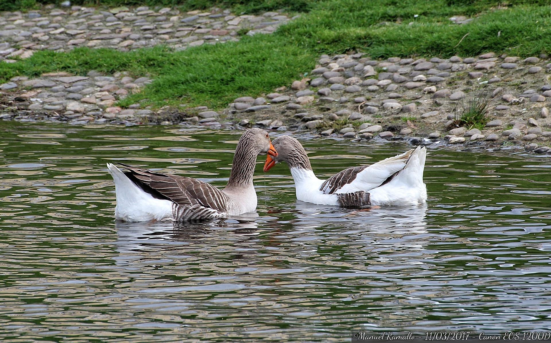 rio-cabe-monforte-aves-palmipedas